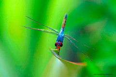 laskar cinta... (perakman) Tags: nature canon dragonfly insects 70200mm pepatung 40d platinumheartaward vosplusbellesphotos savebeautifulearth perakman