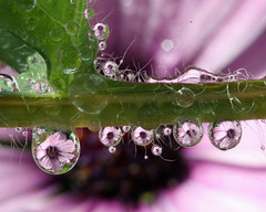 Have you ever looked under a poppy leaf on a damp, dewy morning? If not, you\'ve missed some of what goes on in your garden.