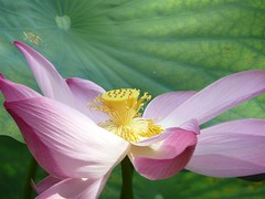 Bintan Island #11 - The Flowers of Bintan Island (Beautiful Lotus) (ighosts) Tags: travel pink flowers white nature indonesia singapore waterlily lotus bintanisland