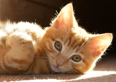 Honey In The Sun (Urs Wachter) Tags: red baby pets cute rot beautiful animal cat rouge schweiz switzerland eyes kitten chat pretty suisse tabby kitty gato katze lovely augen  puss gatto aargau kats overload ktzchen chaton urs wachter gattini httli oberkulm pet100 platinumheartaward 100commentgroup vosplusbellesphotos hairygitselite