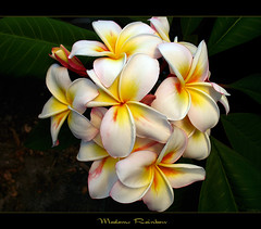 Thailand Flowers - The Plumeria Madame Rainbow (mad plumerian) Tags: flowers orange yellow canon thailand gold hawaii florida plumeria exotic hawaiian frangipani rare tropicals tropicalflowers a620 kalachuchi hybrids rareplant landscapephotography rareplants exoticflowers flowersinbloom rareflowers rareplantsflowers hybridflowers lelavadee