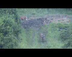 Zajtrk :) (natalija2006) Tags: nature feeding wildlife deer slovenia tele calf hind reddeer cervuselaphus narava hranjenje kouta jelenjad divjad