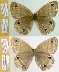 Palaeonympha opalina