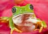""" Portrait of a Friend "" (Alfredo11) Tags: portrait naturaleza macro verde green nature mexico eyes retrato frog ojos alfredo rana creativelightingsystem nikond300 nikon60mm28"