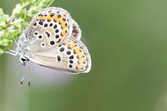 Silver studded blue / Heideblauwtje (Plebeius argus) (BJSmit) Tags: 20d netherlands butterfly canon20d nederland canoneos20d borboleta falter mariposa farfalla sommerfugl eos20d vlinder fjril silverstuddedblue plebeiusargus heideblauwtje regteheide geiskleeblaeuling regteheideenrielslaag