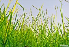 The Clear Sky! (q8phantom) Tags: morning blue sky green grass early free kuwait zone الكويت سماء صباح حشيش الحرة زرقاء صفاء المنطقة احضر صافية
