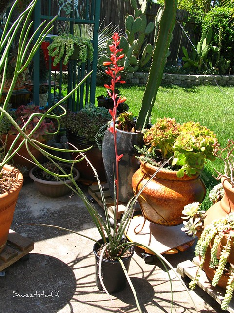 Red Yucca ready to plant