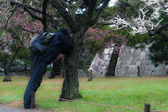DSC_9131 (Alex Rowan) Tags: people plants flower alex japan kyoto asia downtown  cherryblossom rowan plumblossom  nijojo nijocastle  centralkyoto  alexrowanphotography