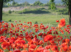 Poppy field (ewka2205) Tags: red green field maki pole poppy poppies mak poppyfield ewka2205 polemakowe