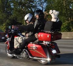 harley dog 4 (Mauigirl 2011) Tags: seattle red dog white bike nikon highway helmet goggles harley freeway harleydavidson motorcycle pup capture paramount backseat mortorcycle fure d90 nikoncapture harleyrider nikond90 seattleparamount tailpips