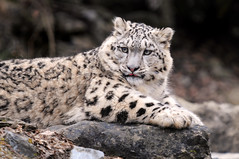 Indeever's rock (Tambako the Jaguar) Tags: wild cute male rock cat zoo cub schweiz switzerland big nikon feline zurich kitty fluffy son zrich lying snowleopard felid d300 panthera schneeleopard stome snowkitty uncia aplusphoto loparddesneiges panthredesneiges vosplusbellesphotos