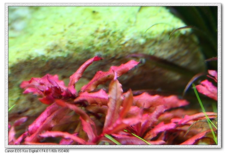 小紅葉上的黑毛藻