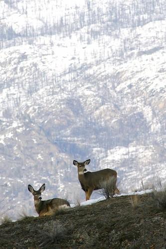 deer-pair