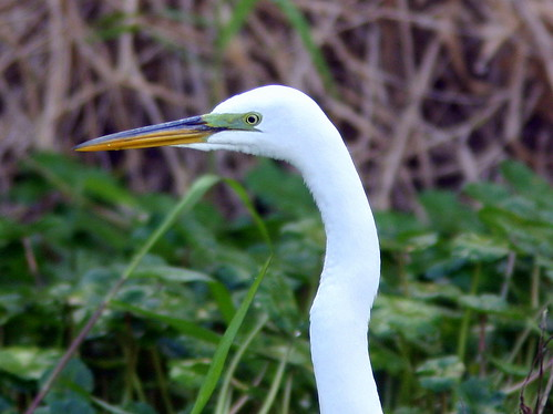 Great Egret Green Cay 20090224