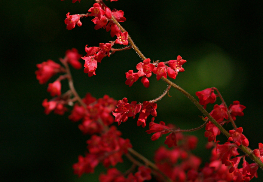 heuchera flowers