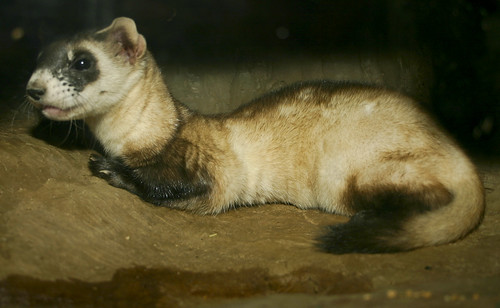 The black-footed ferret