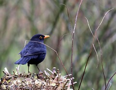 Mr Blackbird on the lookout (tijmenkroes) Tags: ilovenature searchthebest blackbird gmt merel naturesfinest fineartphotos mywinners anawesomeshot beemte avianexcellence diamondclassphotographer flickrdiamond brillianteyejewel natureselegantshots