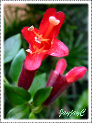 Aeschynanthus radicans 'Crispa' (Lipstick Plant) in our garden