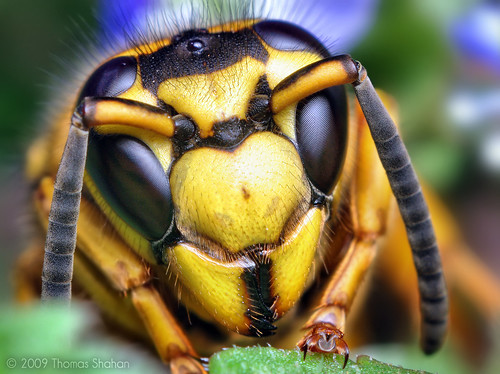 Face of a Southern Yellowjacket Queen (Vespula squamosa) - By Thomas Shahan