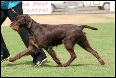 Bronte on the move @ Noorat (Catherine Ryan) Tags: show dog movement pointer wirehaired german vic 2009 bronte gait gwp noorat mtelephant hirschweb