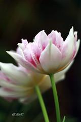 A Touch of Pink (♥ B i b b i ♥) Tags: pink flowers winter white flower green canon 50mm vinter tulips sweden stockholm bokeh rosa tulip blomma sverige blommor 2009 30d grön tulpan tulpaner vit canon30d canon50mmf18ii 50mmf18ii impressedbeauty hppt åkeshov tulpanutställning pinktuesday tulipexhibition