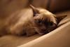 Daydreams (segamatic) Tags: portrait pet cat canon eos burmese nestle kissablekat bestofcats photofaceoffwinner pfogold sigma50mmf14exdghsm 5dmarkii 5dmkii