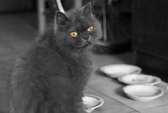 貓咪哥 (summerrunner) Tags: bw home cat march spring nikon adobe taipei 60mm nikkor 2009 生活 lightroom d80 貓咪哥
