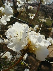 DSC07870.JPG (chinitanglatina) Tags: flowers nature japan spring ome ume yoshino plumblossoms umematsuri