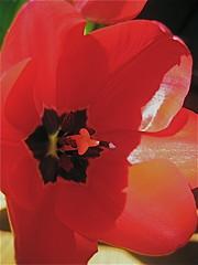am I blushing? (cosmo-girl) Tags: redredred tulip flower art red spring redwoodshores artofthelight macro closeup redflowers redtulips tulipa liliaceae native cup petals sepals tepals petaloidtepals basifixed stamens filaments stigmas ovaries 3lobed chambers leatherytexturedcapsules ellipsoid subglobose seeds lit sunlight sunlitflower siminbehbahani oghierghislaindebusbecq musharrifuddin ottomanempi