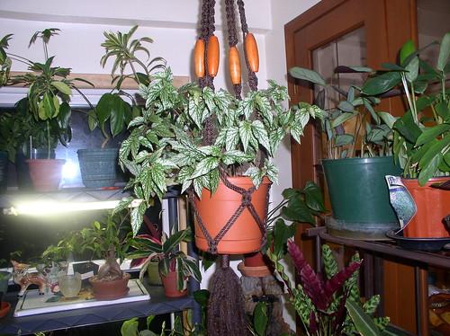 BegoniaLogees3-23-09