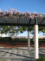 At Yerba Buena Gardens (Stephen Sass) Tags: sanfrancisco yerbabuena wisteria