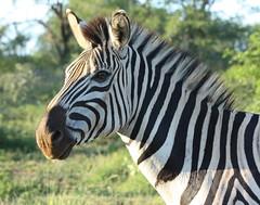 Burchell's Zebra at Hluhluwe-iMfolozi Game Reserve (Kleinz1) Tags: animal southafrica wildlife zebra kwazulunatal gamereserve equusburchelli kzn burchellszebra hluhluweimfolozi equusquaggaburchellii canon450d