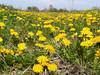 fiori gialli a vista d'occhio