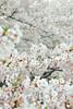 full bloomimg (maaco) Tags: flowers tokyo sakura cherryblossoms tamron meguro 28300mm d60 capturenx