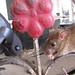 Spidey and friend. Karni Mata Temple (Rat Temple). Deshnoke, India 23MAR09