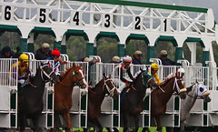 6 horses leaving the starting gate in one of the breeders cup races at churchill downs all brown but one gray