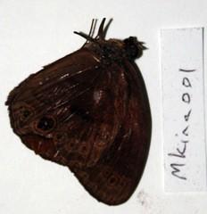 Mycalesis kina