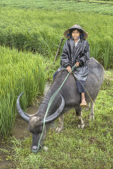 near Hue (AsianInsights) Tags: travel boy green buffalo asia child vietnam ricefield hue earthasia romanachapman gettyimagessoutheastasiaq1