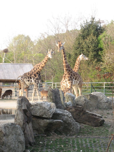 Giraffes At Seoul Zoo