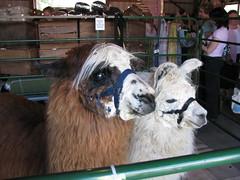 Nutmeg Knitter: CT Sheep & Wool