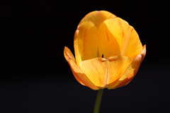 (Wind Home) Tags: flowers red nature yellow oregon canon pretty naturallight tulip onblack blueribbonwinner mywinners goldstaraward