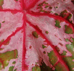A very close look at a Caladium Leaf (jungle mama) Tags: red green leaf searchthebest soe caladium naturesfinest blueribbonwinner pinkleaf supershot bej passionphotography platinumphoto anawesomeshot diamondclassphotographer flickrdiamond caladiumleaf theunforgettablepictures macromarvels theperfectphotographer goldstaraward natureselegantshots wonderfulworldofflowers rubyphotographer theloveshack cffaa veinyleaf travelsofhomerodyssey verycloselook pinkandredcaladium abstractcaladium