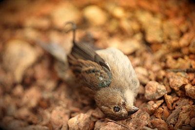 Indigo bunting, dead