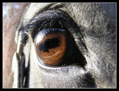 Eye - Frisian Horse (Inner North) Tags: horses horse black fries frisian