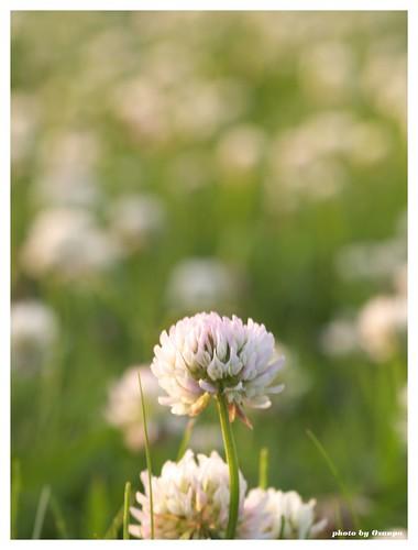 White clover 20090520 #04