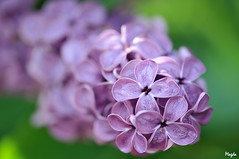 lilac (Magda'70) Tags: flower macro tree green nature closeup dof lilac magda 2009 excellence