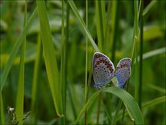 Azurés des coronilles ... (Journ'obs...) Tags: ardennes insecte insectes faune panasoniclumixdmcfz18 boisdami azurédescoronilles