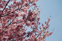 Kodai-ji: Sakura (jpellgen) Tags: pink japan cherry temple japanese spring nikon kyoto asia buddha buddhist blossoms buddhism zen   sakura nippon 1855mm nikkor kansai 2009 nihon prunus kodaiji kinki higashiyama honshu  rinzai d40