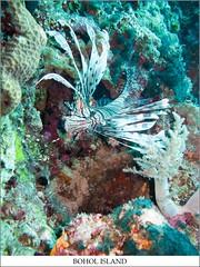 LION FISH (TACO1978) Tags: dive bohol panglao balicasag