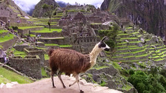 Peru - Machu Picchu - Lama   9, 114 (roba66) Tags: mountains peru beautiful animal animals tiere inka berge lama machupicchu tier ruinen inkas huaynapicchu mauern antik sdamerika ruinenstadt perumachupicchu stadtindenwolken flickrbestpics saariysqualitypictures mbpictures flickrunitedaward